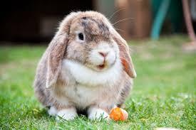 loprabbit